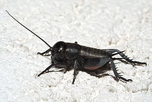 220px-Gryllus_campestris_nymph02.jpg
