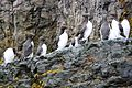 Guillemots on Bear Island Svalbard Arctic (19659682694).jpg