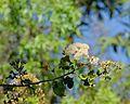 Gymnanthemum coloratum, bloei- en vrugtepluim, Jan Celliers Park.jpg