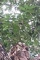 HK CWB 高士威道 Causeway Bay Road 維多利亞公園 Victoria Park tree Sept 2017 IX1 水翁 Cleistocalyx operculatus 04.jpg