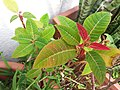 HK Mid-levels High Street clubhouse green leaves plant February 2019 SSG 12.jpg