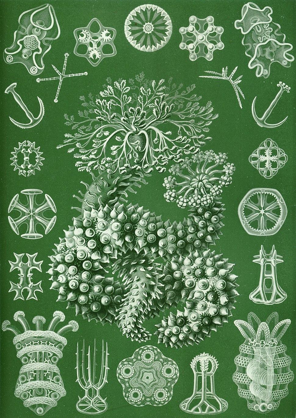 Haeckel Thuroidea