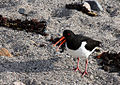 Haematopus ostralegus -Jersey, British Crown Dependency-8.jpg