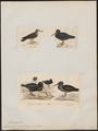 Haematopus unicolor - 1700-1880 - Print - Iconographia Zoologica - Special Collections University of Amsterdam - UBA01 IZ17300019.tif