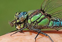 Hairy dragonfly (Brachytron pratense) male close up.jpg