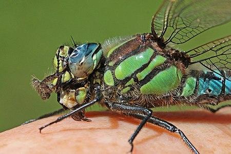 Hairy dragonfly (Brachytron pratense) male close up.jpg
