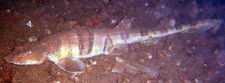 Tiger catshark species of fish