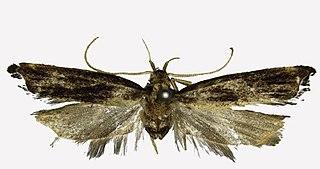 <i>Halolaguna flabellata</i> Species of moth