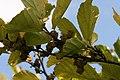 Hamamelis vernalis 9zz.jpg