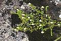 Harrimanella stelleriana (Mount Kisokoma).jpg