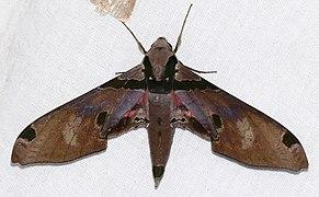 Hawkmoth (Adhemarius gagarini) (24376484977).jpg
