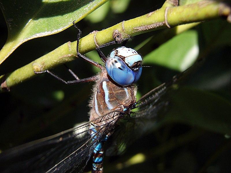 Bộ sưu tập Côn trùng - Page 2 800px-Head_and_upper_body_of_dragonfly