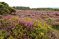 Heather and Gorse on Kitnor Heath - geograph.org.uk - 236142.jpg