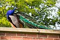 Heaton Park 2016 049 - Peacock.jpg