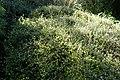 Helichrysum lanceolatum kz08.jpg