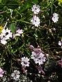 Heliosperma pusillum subsp pudibundum RF.jpg