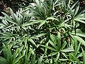 Helleborus foetidus 1.jpg