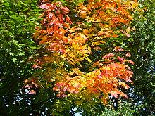 https://upload.wikimedia.org/wikipedia/commons/thumb/2/28/Herbstliches_Laub.JPG/220px-Herbstliches_Laub.JPG