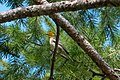 Hermit Warbler (immature) Rd to Pinery Campgrd Portal AZ 2019-08-14 10-13-07 (48595070726).jpg