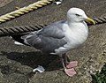 Herring Gull at Brixham Harbour (1).jpg