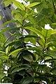 Hibiscus clayi 1zz.jpg