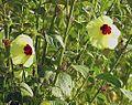 Hibiscus ludwigii (26081503586).jpg