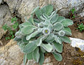 Hieracium villosum 1 (Picos).JPG