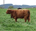 Highland cattle - geograph.org.uk - 422854.jpg