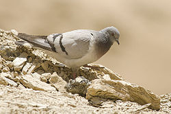 Hill Pigeon, near Dras, Jammu and Kashmir, India.jpg