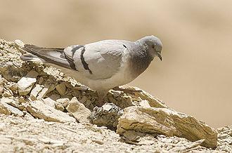 Hill pigeon - Hill pigeon, near Dras, Jammu and Kashmir, India