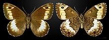 Hipparchia hermione MHNT CUT 2013 3 30 Peyreleau.jpg
