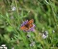 Hnedáčik skorocelový - Melitaea athalia.jpg