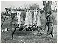 Hog killing on Milton Puryeur place; He is a Negro owner of ... (3110573734).jpg