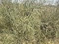 Hojas y ramas jóvenes de Prosopis pugionata.jpg