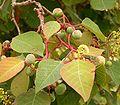 Homalanthus populifolius 04 ies.jpg