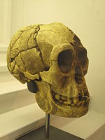 Cast of a Homo Floresiensis skull found in Liang Bua, Flores, Indonesia. The individual lived between 13000 and 95000 years before present.