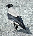Hooded Crow (Corvus cornix) - geograph.org.uk - 1346060.jpg