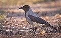 Hooded crow (51028651322).jpg