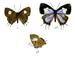 Horaga viola - Photo  C. Swinhoe (text); J N Fitch (art), ei tunnettuja tekijänoikeusrajoituksia (Tekijänoikeudeton)