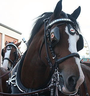 Blinkers (horse tack) - A draft horse with blinkers.