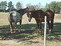 Horses in Alabama Field.jpg