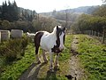 Horses near Darsalloch, Kells, Kirkcudbrightshire.jpg