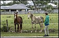 Horses waiting for Lachlan's carrots-1 (27605172402).jpg