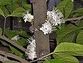 Hortus Botanicus Leiden - Phaleria capitata Jack (Sumatra).JPG