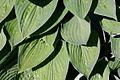Hosta Plant With Raindrops In Garden Hampshire UK.jpg