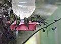Hummingbird (46912778925).jpg