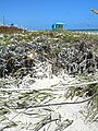 Hurricane Irma 2017 - Miami Beach - South Beach - Beach and Dune Vegetation South Pointe Park 08.jpg