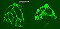 Hyaloid vasculature of 5 dpf zebrafish larvae.jpg