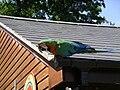Hybrid Ara macaw -Tropical Birdland -Leicestershire-3July07.jpg
