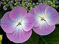 Hydrangea (5843423606).jpg